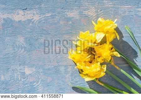 Yellow Bright Daffodils On A Blue Wooden Background, Copy Space, Top View. Daffodils Are The First S