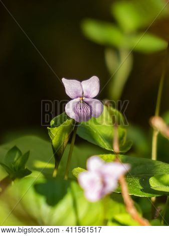 Single Milky And Violet Flower Pale Dog-violet (viola Lactea) Surrounded With Green Leaves