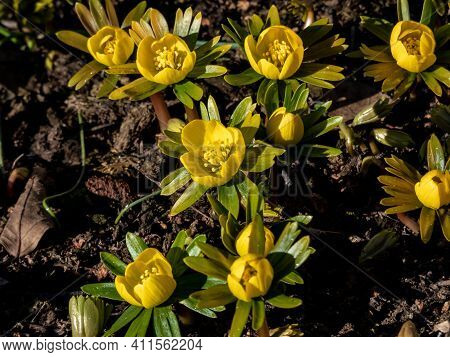 Very Early Spring Bright Yellow Flower - Winter Aconite In Bloom In Sunlight. One Of The Earliest Of