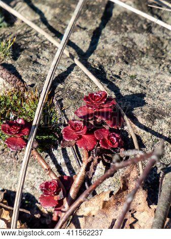 Evergreen Caucasian Stonecrop