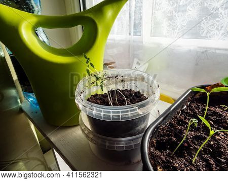 Home-grown Small Pepper Plant Seedlings In Pots On A Windowsill In Bright Sunlight. Indoor Gardening