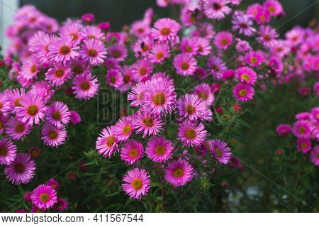Pink Asters Flowerbed. Beautiful Flowers In The Garden. Aster Petals Close Up. Bright Romantic Flora