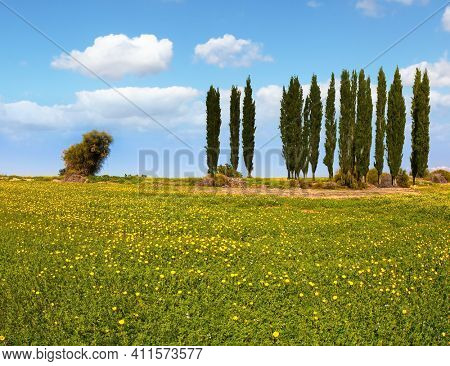 Fields of flowers in the bright southern sun. Desert acacias and cypresses. Lovely warm day. Walk in the blooming Negev desert on the outskirts of the southern city. Israel.