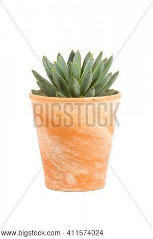 Small succulent plant, Pachyphytum hookeri genus, in terra cotta flower pot isolated  on white background