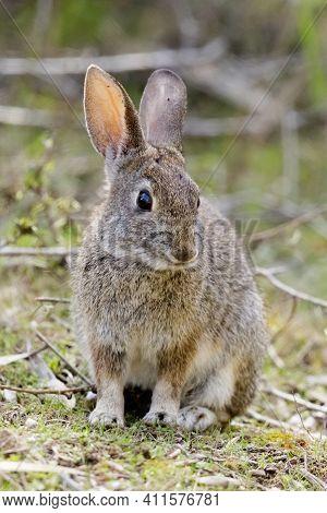 Cottontail Rabbit Sitting In Shrubby Field. Santa Cruz , California, Usa