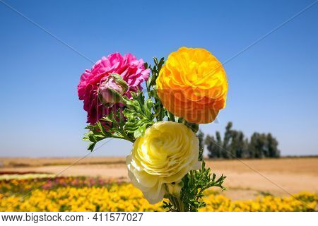 Lovely little bouquet of three large multi-colored buttercups. Field of luxurious spring buttercups. Beautiful sunny spring day. The concept of botanical, environmental and photo tourism