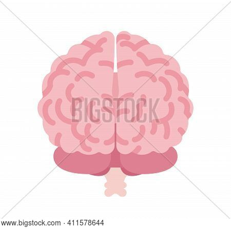 Human Brain Anatomical Study, Medical, Scientific Classroom Model Back View. Nervous System Central