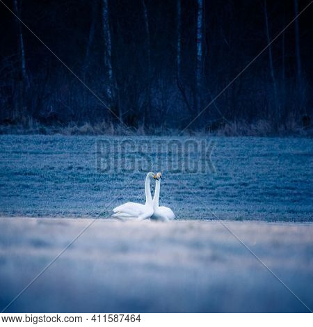 A Beautiful White Whooper Swans On The Frosty Field In The Spring Morning. Common Swan Resting On La