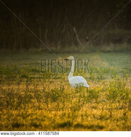 Beautiful, White Whooper Swans Resting In The Sunny Field During Spring Morning. Cygnus Cygnus In Sp