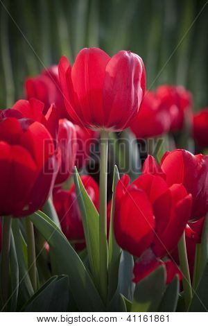red tulip flower in the garden