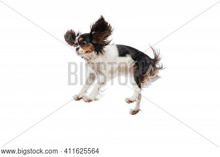Funny King Charles Spaniel Dog Jumping Isolated Over White Background.