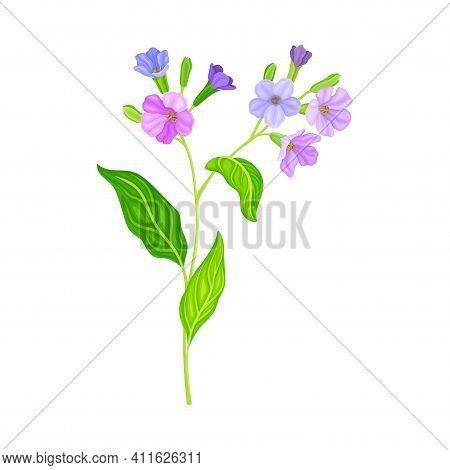 Violet Florets Of Lungwort Or Pulmonaria Flowering Plant Vector Illustration