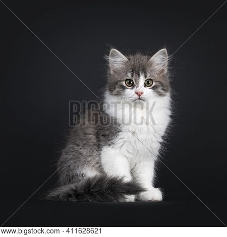 Cute Blue White Bicolor Siberian Forestcat, Sitting Up Side Ways With Tail Neatly Folded Around Body
