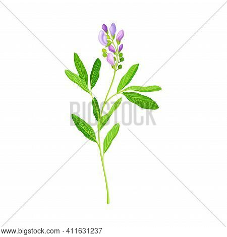 Alfalfa Or Lucerne Healing Flower With Elongated Leaves And Clusters Of Small Purple Flowers Vector