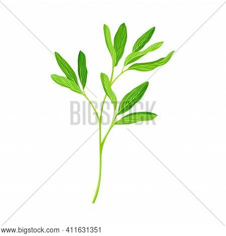 Green Branch Of Alfalfa Or Lucerne Healing Plant With Elongated Leaves Vector Illustration