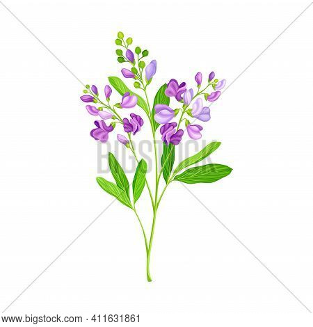 Lucerne Or Alfalfa Plant Having Elongated Leaves And Clusters Of Small Purple Flowers Vector Illustr