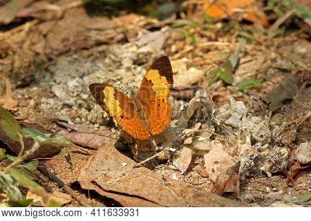Rustic Butterfly, Cupha Erymanthis, Kudremukh Wildlife Sanctuary, Karnataka India