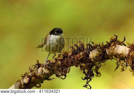 Dark Fronted Babbler, Rhopocichla Articeps, Ganeshgudi, Karnataka, India