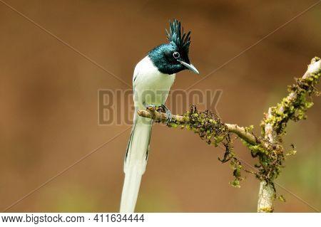 Asian Paradise Flycatcher, Terpsiphone Paradisi, Ganeshgudi, Karnataka, India