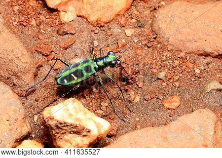 Tiger Beetle, Cicindela Duponti, Ganeshgudi, Karnataka, India