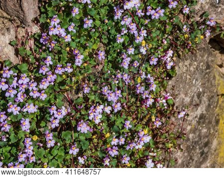 Kenilworth Ivy (cymbalaria Muralis) Little Filler Plant With Tiny Lilac-blue Snapdragon-like Flowers