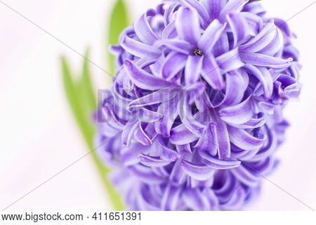 Blue Hyacinth Flower On A Delicate Background Close-up. Flower Bud, Macro Photography. Close-up Of A