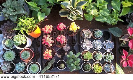 View Of Echeveria Succulent Plants For Multipurpose Use Of Projects
