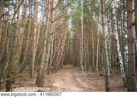 Mystical Pine Forest That Surrounds A Walking Trail. Some Broken Trees That Have Fallen Over The Wal