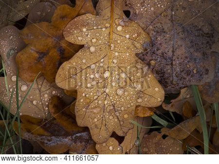 Dry Oak Leaves In Dew Drops. Orange Oak Leaf Covered With Raindrops On The Ground. Dry Autumn Oak Le