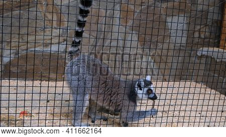 Ring Tail Lemur Catta Sitting In Zoo Cage. Madagascar Lemur Sitting In Cage From Wild Nature.