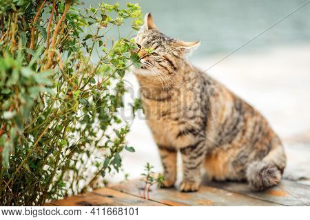 A Striped Brown Cat Sniffs A Green Plant And Its Leaves. Blurred Background In The Background.