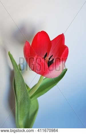 Beautiful Bright Red Spring Tulip Close Up