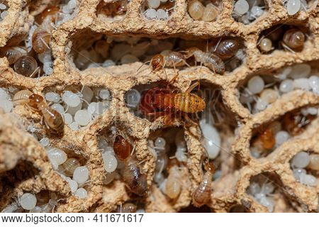 Termite And White Larvae On A Termite Nest,close Up