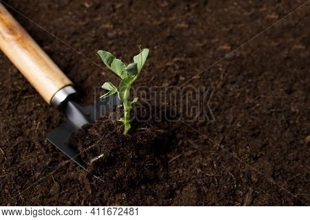 The Green Sprout Of The Young Seedlings On A Garden Shovel Is Close-up Against The Background Of Fer