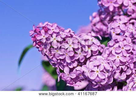 Fresh flowers lilac on blue sky background. poster
