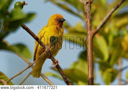 Eastern Golden Weaver - Ploceus Subaureus Yellow Song Bird In The Family Ploceidae, Found In Eastern