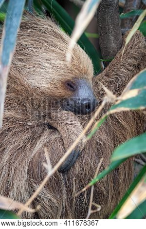 Two-toed sloth, Choloepus didactylus, sleeping in a tree. This nocturnal and arboreal species is indigenous to South America. Vertical format.