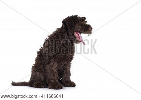 Adorable Dark Brown Cobberdog Aka Labradoodle Pup, Sitting Side Ways With Tongue Out Yawning.  Isola