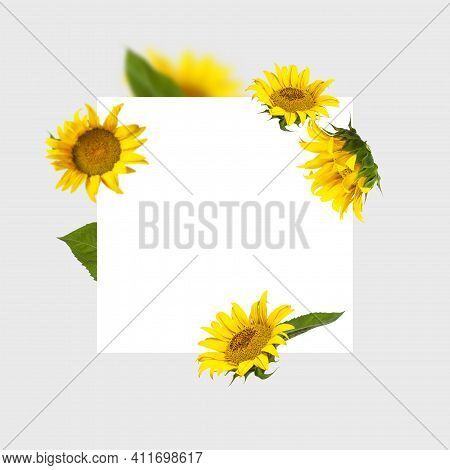 Flying Yellow Sunflowers Green Leaves White Clean Square Sheet On Gray Background Flat Lay. Frame Fr