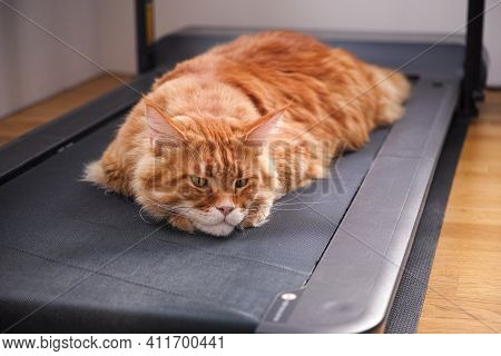 Tired Red Maine Coon Cat Laying On A Treadmill.