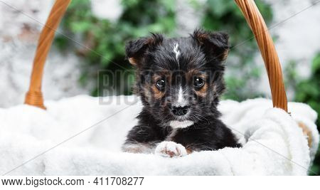 Newborn Puppy Dog Portrait In Basket Outdoor. Adorable Serious Young Domestic Animal Brown Puppy Sit