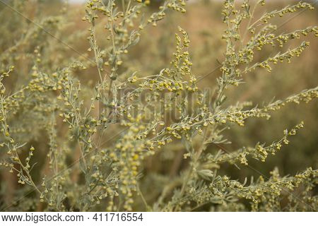 Blooming Artemisia Absinthium Wormwood Herbal Plant Close Up In A Field.