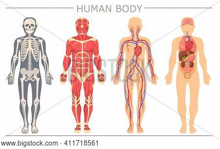 Human Body Structure Set. Skeleton, Muscular System Blood System With Arteries, Veins, Human Organs,