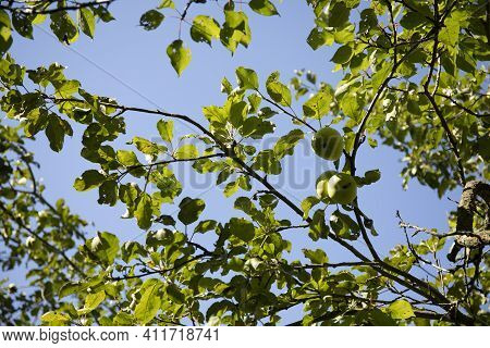 Apple Tree Branch With Green Leaves And Fruits Against Blue Sky Background