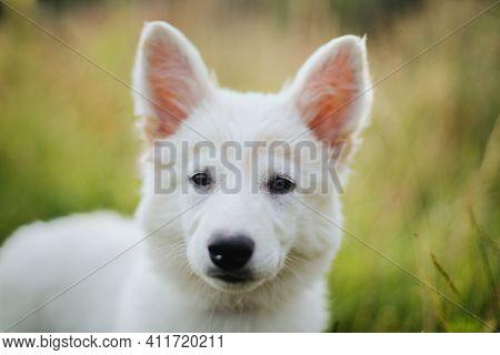 Cute White Puppy Portrait In Warm Sunny Light Among Grass In Summer Meadow. Fluffy Swiss Shepherd