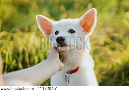 Adorable White Puppy Face In Owner Hand. Woman Hand Caressing Cute Swiss Shepherd Fluffy Puppy In Wa