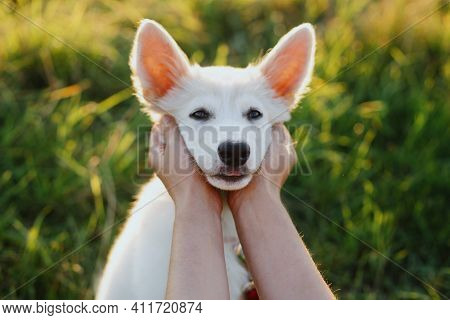 Adorable White Puppy Face In Owner Hands. Woman Hands Caressing Cute Swiss Shepherd Fluffy Puppy In
