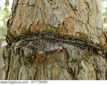 Strand Of Iron Chain Are Tied Around A Thick Tree And Absorbed Into The Bark. Ingrown Iron Chain In