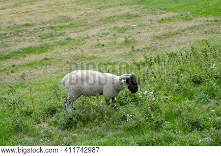A Domestic Male Sheep Known As A Ram Latin Name Ovis Aries