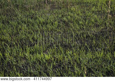 Young Shoots Of Fresh Grass Sprout On Burning After A Fire